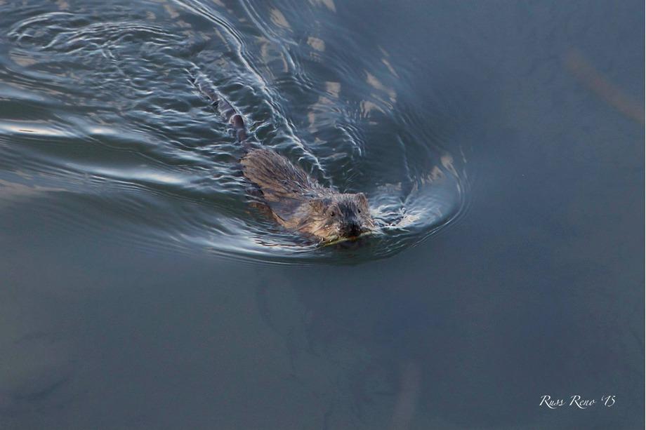 Beaver Sighting
