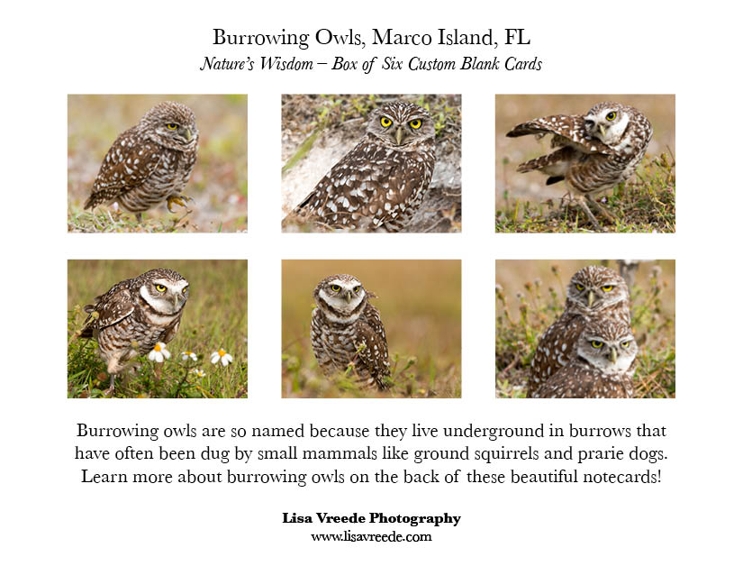Burrowing Owl Images Notecards