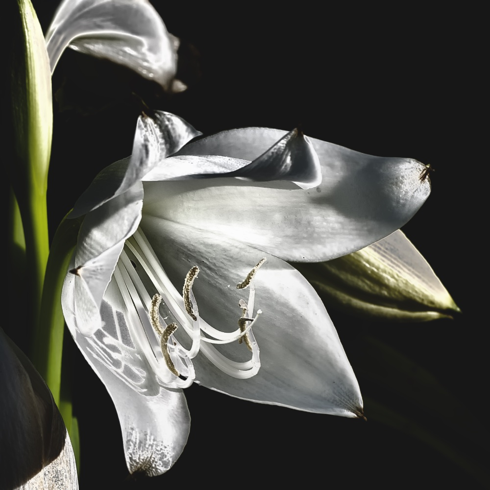 Blooming Lily II