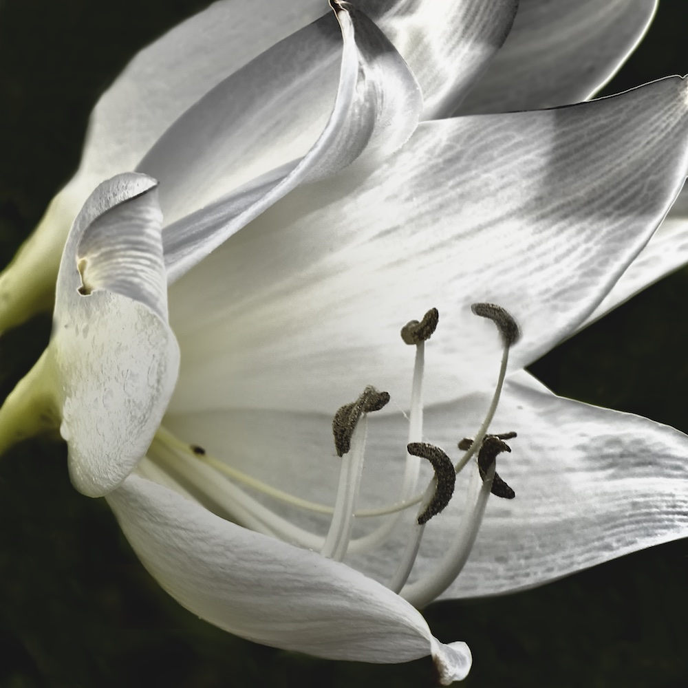 Blooming Lily III