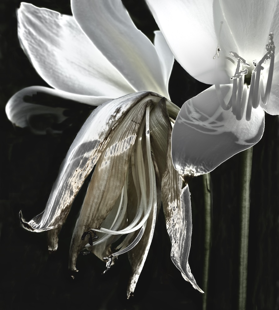 Wilting Lily II