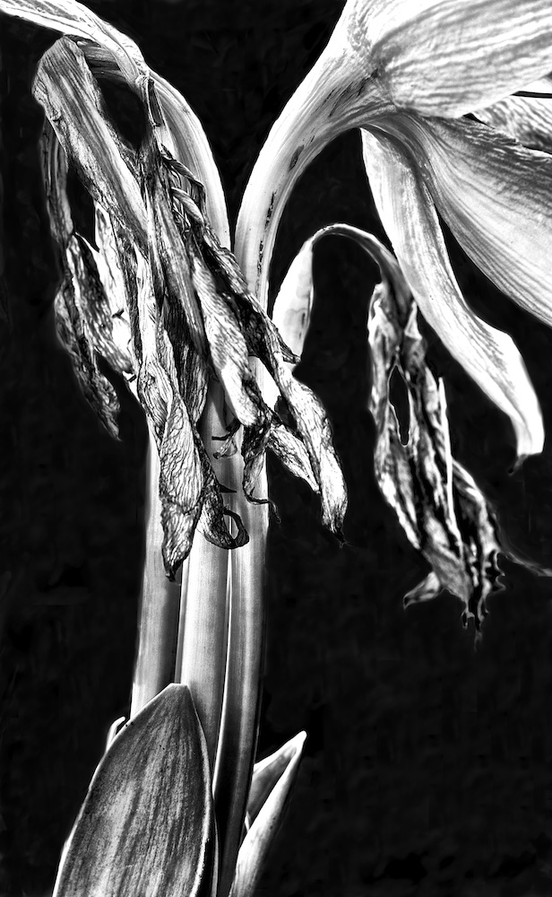 Wilted Lily V