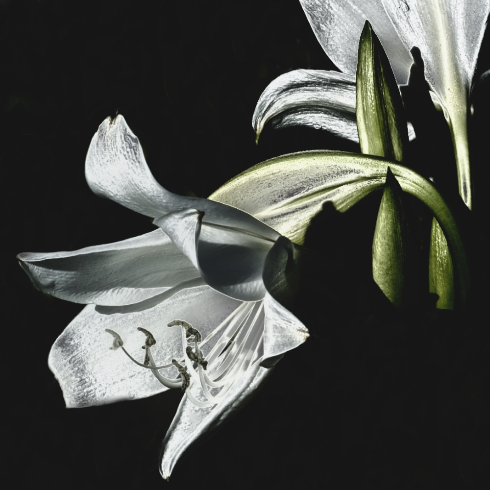 Blooming Lily V