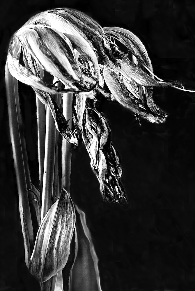 Wilted Lily IV
