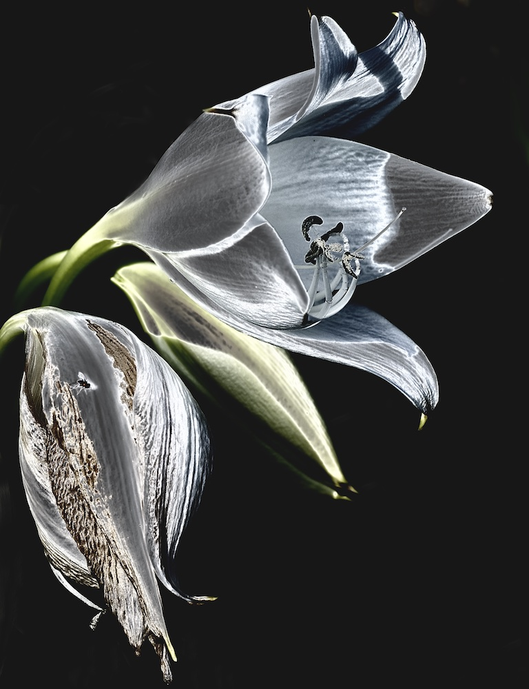 Wilting Lily V