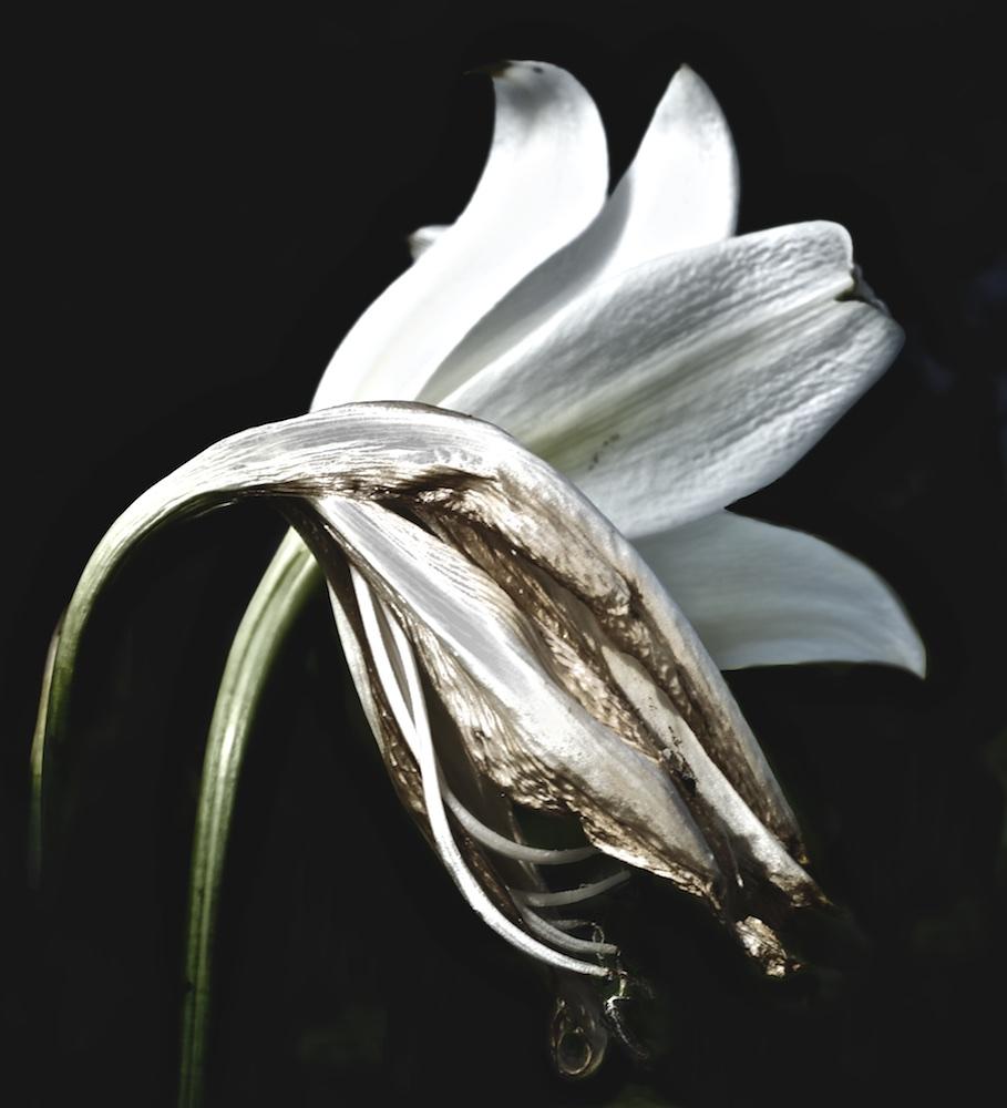 Wilting Lily I
