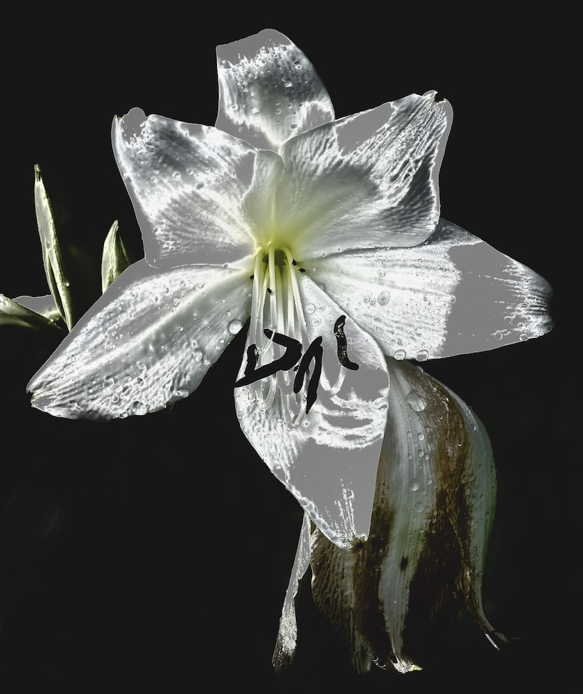 Wilting Lily III