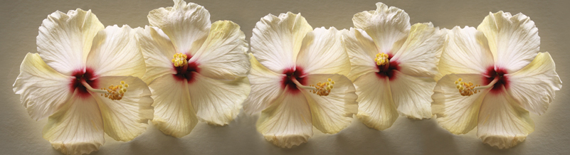 Backlit Hibiscus Panoramic