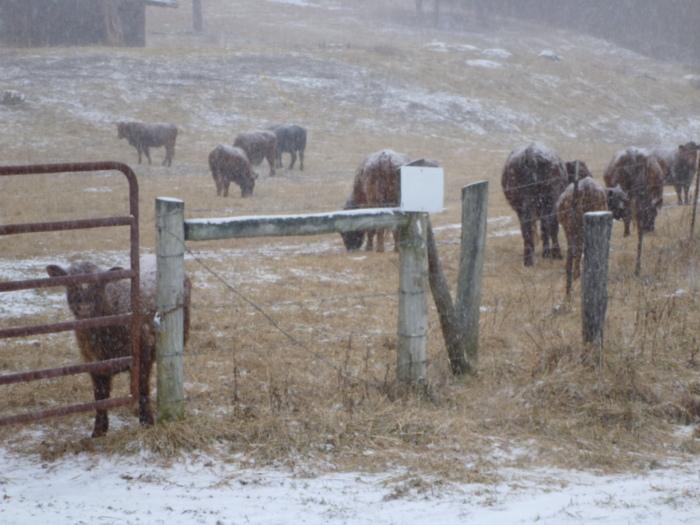 Red Devon, Cattle, Ivy Croft, Forest, Virginia