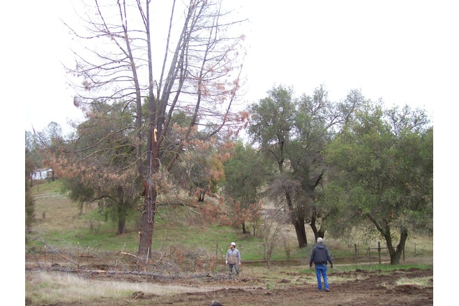 dangerous tree removal, red turpentine beetle