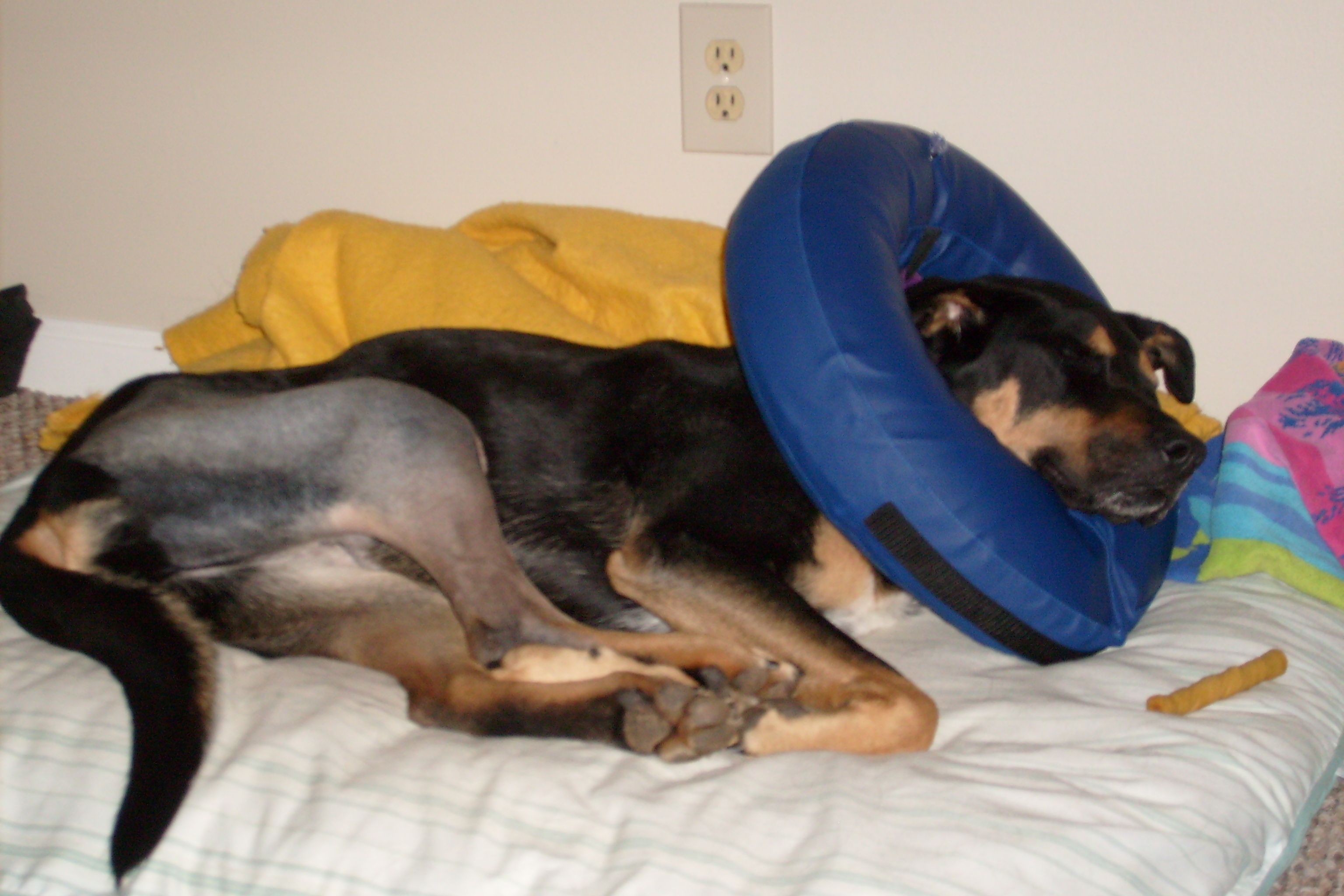 Pet Sitting- Medical, Post Surgical Care