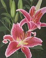 Stargazer Lily/Original Oil    $375