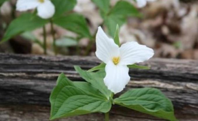 Ten (10) White Trillium, Wood Lily Bulbs (Trillium Graniforium)