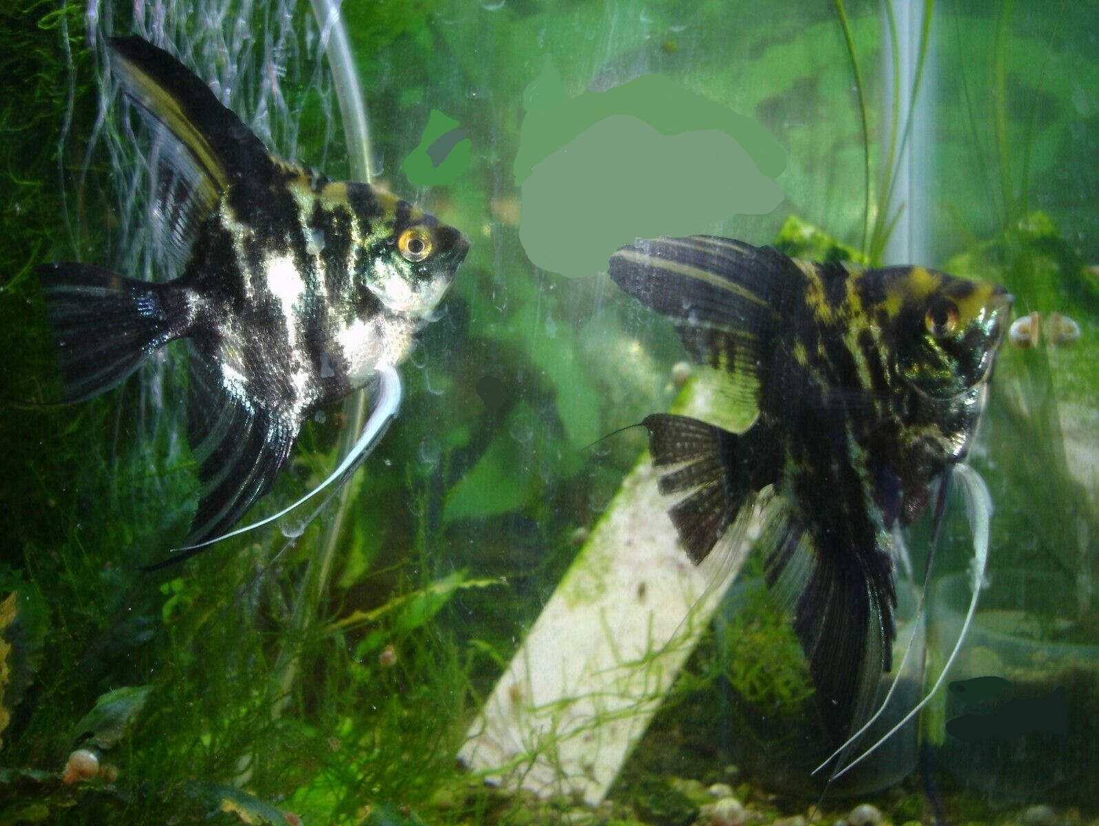 Angelfish, Live Freshwater Aquarium Fish, young breeding pair - Several pairs available - Inquire for more than 1 pair