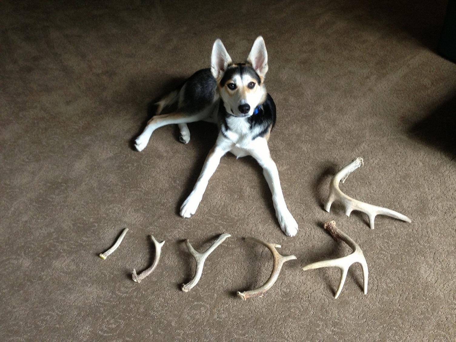 White Tail Deer Whole Antler